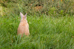 Kleines braunes Kaninchen auf grünem Gras lizenzfreie stockbilder