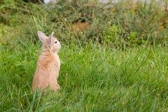 Kleines braunes Kaninchen auf grünem Gras lizenzfreie stockfotografie