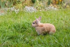Kleines braunes Kaninchen auf grünem Gras stockfotografie