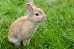 Kleines braunes Kaninchen auf grünem Gras stockbild