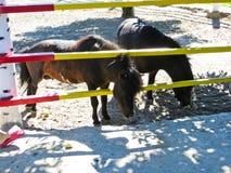 Kleines braunes Pony an der Ranch lizenzfreie stockbilder