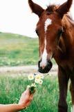 Kleines Buchtfohlen schnüffelt einen Blumenstrauß von Gänseblümchen, der durch eine weibliche Hand gehalten wird stockbilder