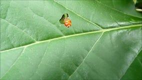 Kleines Caterpillar, das grünes Blatt isst stock video
