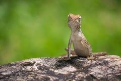 Kleines Chamäleon auf dem Felsen Lizenzfreie Stockfotos