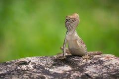 Kleines Chamäleon auf dem Felsen Lizenzfreies Stockbild