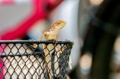 Kleines Chamäleon, das vom Korb herauskommt Stockfotografie