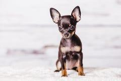 Kleines Chihuahuahündchen lizenzfreies stockbild
