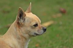 Kleines Chihuahuaporträt stockbilder