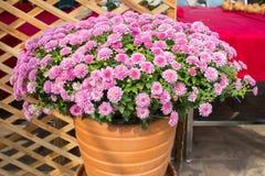 Kleines Chrysanthemenrosa Lizenzfreies Stockbild