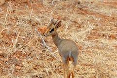 Kleines Dik-Dik im afrikanischen Nationalpark Stockfotos