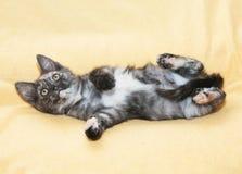 Kleines dreifarbiges Kätzchen ist Tatzen oben und oben schaut Stockfotografie