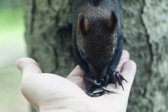 Kleines Eichhörnchen Lizenzfreie Stockfotografie