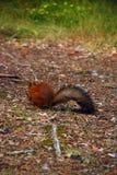 Kleines Eichhörnchen Stockbild