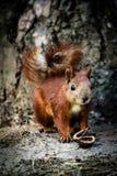 Kleines Eichhörnchen Stockfotografie