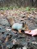 Kleines Eichhörnchen betrachtet die Eichel  Lizenzfreie Stockbilder