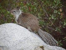 Kleines Eichhörnchen, das auf Stein sitzt Lizenzfreies Stockfoto
