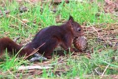 Kleines Eichhörnchen, das eine Ananas isst Lizenzfreies Stockbild
