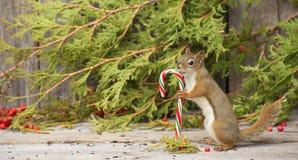 Kleines Eichhörnchen, das eine Zuckerstange anhält. Lizenzfreie Stockfotografie