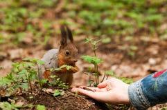 Kleines Eichhörnchen, das Muttern von der menschlichen Hand nimmt Stockfoto