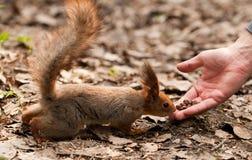 Kleines Eichhörnchen, das Muttern von der menschlichen Hand nimmt Stockbilder