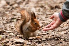 Kleines Eichhörnchen, das Muttern von der menschlichen Hand nimmt Stockbild