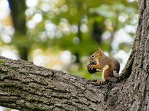 Kleines Eichhörnchen zerfrisst auf einer schwarzen Walnuss stockfotos