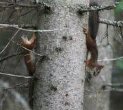 Kleines Eichhörnchen zwei Lizenzfreies Stockfoto