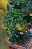 Kleines eingemachtes Baumverbiegen Stockfoto
