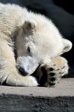 Kleines Eisbärjunges, das einen Rest hat Stockfotografie