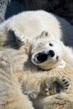 Kleines Eisbärjunges, das einen Rest hat Stockfotos