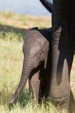 Kleines Elefantenkalbspiel im Los des langen grünen Grases und haben von f Lizenzfreie Stockbilder