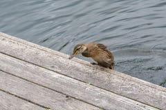 Kleines Entlein, das auf ein Dock vom Wasser springt Stockfoto