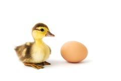 Kleines Entlein und das Ei Stockfotografie