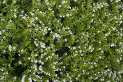 Kleines Feld der weißen Blume Lizenzfreie Stockbilder