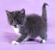 Kleines flaumiges graues Kätzchen, das auf Purpur steht Stockbilder