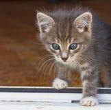 Kleines flaumiges Kätzchen überschreiten die Schwelle des Hauses Stockbild
