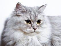 Kleines flaumiges Kätzchen Lizenzfreies Stockfoto