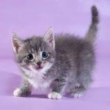 Kleines flaumiges Kätzchen der getigerten Katze, das auf Purpur steht Lizenzfreies Stockbild