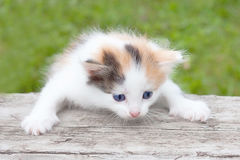 Kleines flaumiges Kätzchen hält Tatzen Stockbild