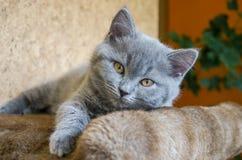 Kleines flaumiges Kätzchen wird im Regal gespielt lizenzfreie stockfotografie