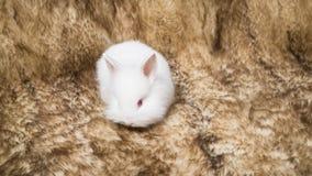 Kleines flaumiges Kaninchenweiß Lizenzfreie Stockfotografie