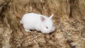 Kleines flaumiges Kaninchenweiß Stockfotografie