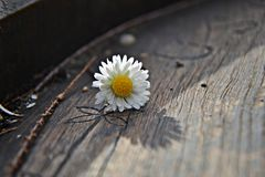Kleines Gänseblümchen Stockfotografie