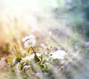 Kleines Gänseblümchen (Frühlingsgänseblümchen) Stockfotos