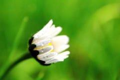 Kleines Gänseblümchen geschlossen Tröpfchen auf Gänseblümchen Lizenzfreie Stockfotografie