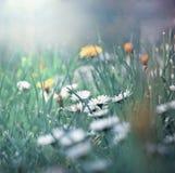Kleines Gänseblümchen im Gras Stockbild