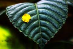 kleines gelbes Blumenblatt auf Blatt Stockbilder
