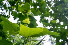 Kleines grünes Blatt unter größeren Blättern Lizenzfreie Stockbilder