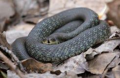 Kleines Grasschlangenlügen beringt auf Waldblättern und Sänftenboden beim seine Zunge heraus haften, um Gerüche zu erfassen stockbild