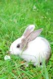 Kleines grau-und-weißes Kaninchen, das auf dem Gras sitzt. Stockbild